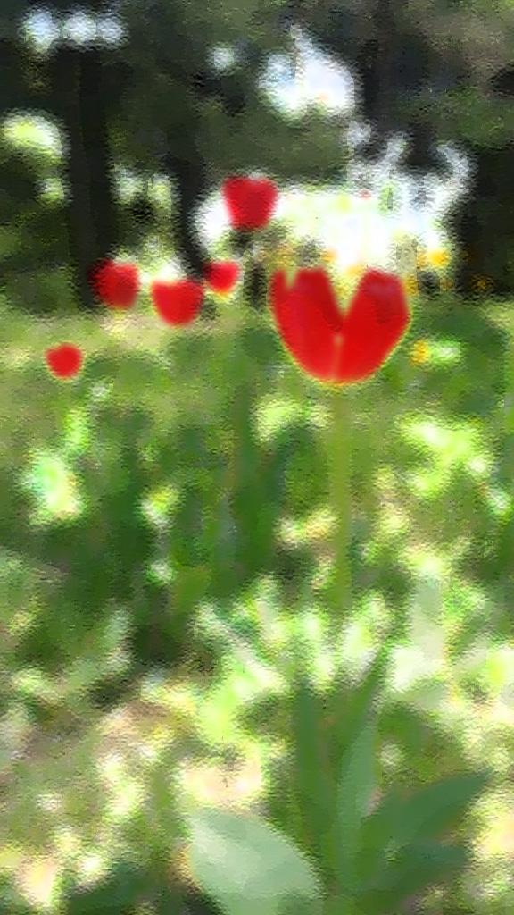 Heart Tulip